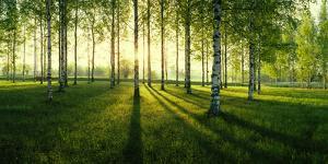 Birch trees by the Vuoksi River, Imatra, Finland