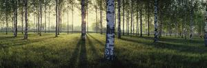 Birch trees by the Vuoksi River, Imatra, Finland