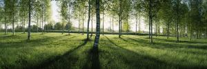 Birch Trees in a Forest, Imatra, South Karelia, Southern Finland, Finland