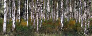 Birch Trees in Green
