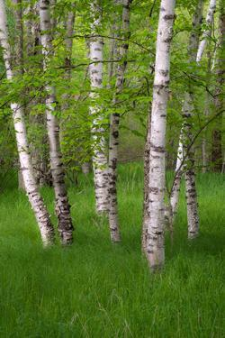 Birch Trees in the Great Meadow, Acadia National Park, Maine, USA