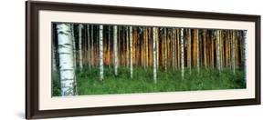 Birch Trees, Saimma, Lakelands, Finland