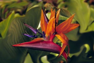 https://imgc.allpostersimages.com/img/posters/bird-of-paradise-blooming-on-the-garden-isle-kauai-hawaii-usa_u-L-PXR7XT0.jpg?p=0