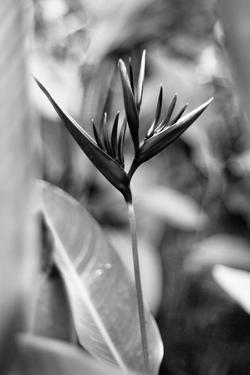 Bird Of Paradise Tropical Flower Black White Photo Poster Print