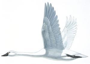 Birds: Anseriformes, Trumpeter Swan, (Cygnus Buccinator)