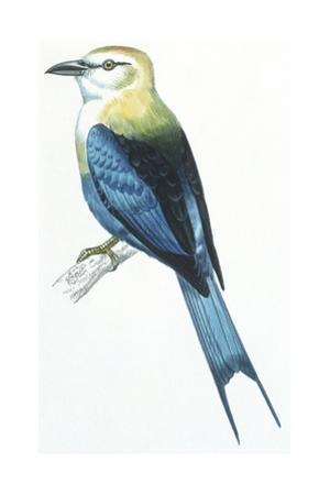 Birds: Coraciiformes, Blue-Bellied Roller (Coracias Cyanogaster)