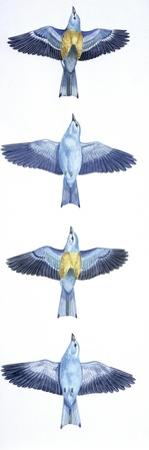 Birds: Coraciiformes, European Roller (Coracias Garrulus), Courtship, Rolling in Flight Stages
