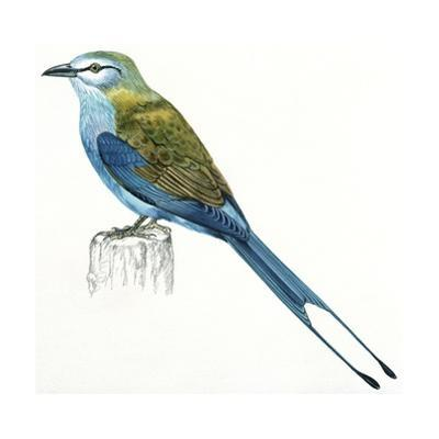 Birds: Coraciiformes, Indian Roller (Coracias Benghalensis)