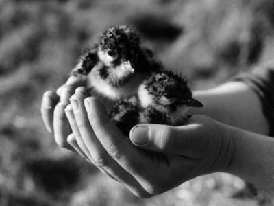 Birds, Lapwing Chicks