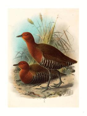 Birds of Philippines, Color Lithograph