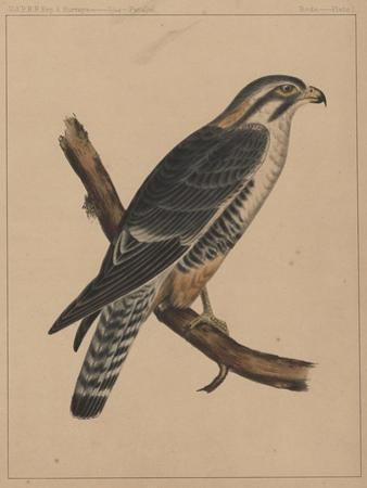 Birds, Plate I, 1855