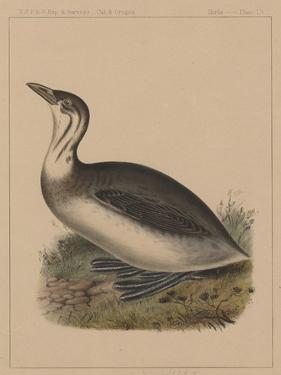 Birds, Plate IX, 1855