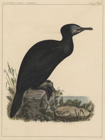 Birds, Plate X, 1855