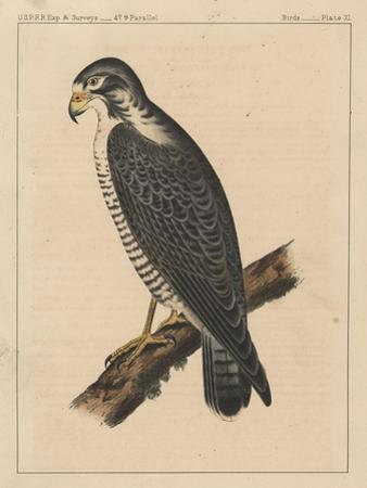 Birds, Plate XI, 1855