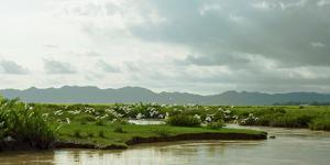 Birds taking flight along bank of Kaladan River, Rakhine State, Myanmar