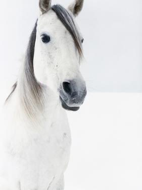 White Horse in Snow by Birgid Allig