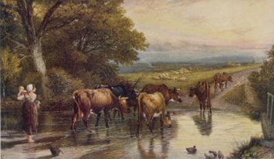 Cattle Returning to the Farm from Pasture