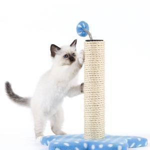 Birman Kitten Playing with Scratch Post