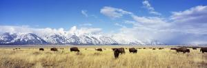 Bison Herd, Grand Teton National Park, Wyoming, USA