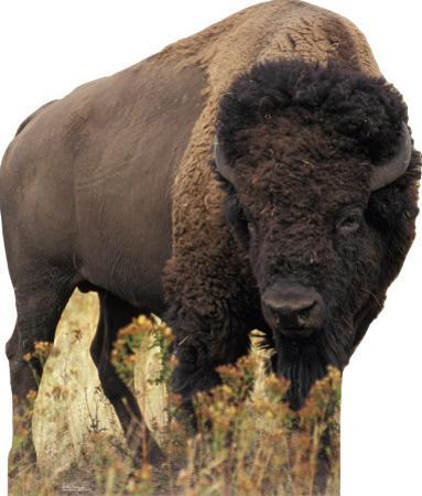 Bison Standup