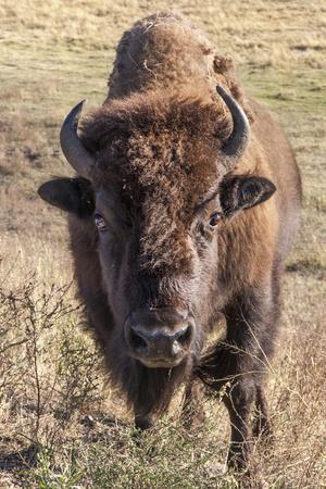 https://imgc.allpostersimages.com/img/posters/bison-yellowstone-national-park-wyoming-usa_u-L-PN73CA0.jpg?p=0