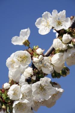 Cherry Blossom (Prunus Sp.) by Bjorn Svensson
