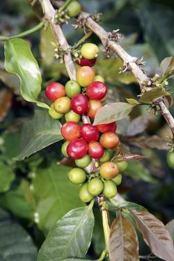 Coffee Plant with Fruit by Bjorn Svensson