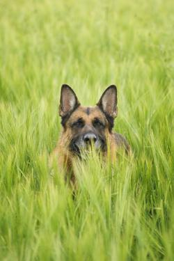Domestic Dog, German Shepherd Dog, adult, standing in unripe Barley (Hordeum vulgare) crop by Bjorn Ullhagen
