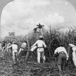 Harvesting Sugar Cane, Rio Pedro, Porto Rico, 1900 by BL Singley