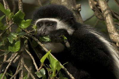 Black and White Colobus Monkey Young Individual