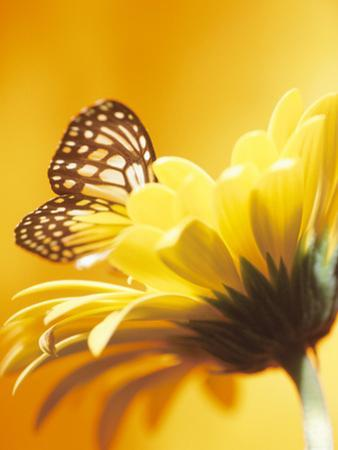 Black and Yellow Butterfly on Yellow Flower