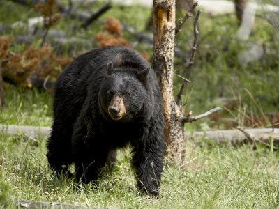 https://imgc.allpostersimages.com/img/posters/black-bear-sow-yellowstone-national-park-wyoming-usa_u-L-P7NOKG0.jpg?p=0