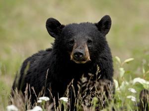 Black Bear (Ursus Americanus), Alaska Highway, British Columbia, Canada, North America