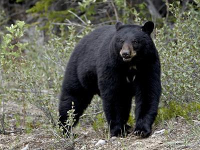 Black Bear (Ursus Americanus), Banff National Park, Alberta, Canada, North America