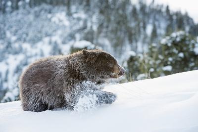 https://imgc.allpostersimages.com/img/posters/black-bear-ursus-americanus-montana-united-states-of-america-north-america_u-L-PWFQM20.jpg?p=0