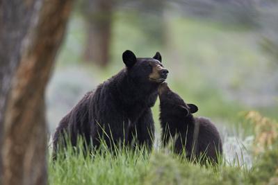 https://imgc.allpostersimages.com/img/posters/black-bear-ursus-americanus-sow-and-yearling-cub-yellowstone-national-park-wyoming-u-s-a_u-L-Q12SDB70.jpg?p=0