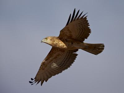 https://imgc.allpostersimages.com/img/posters/black-breasted-snake-eagle-black-chested-snake-eagle-circaetus-pectoralis-in-flight_u-L-PWFB8O0.jpg?p=0