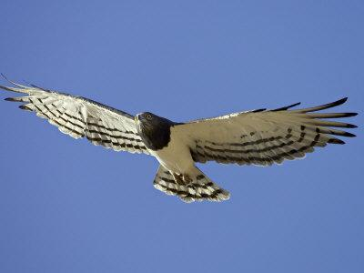 https://imgc.allpostersimages.com/img/posters/black-breasted-snake-eagle-kgalagadi-transfrontier-park-south-africa_u-L-P7NP0G0.jpg?p=0