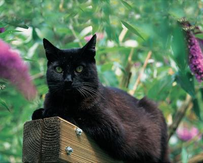 Black Cat Sitting On The Fence