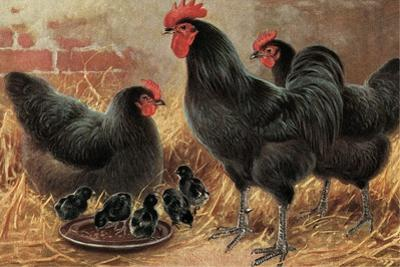Black Chickens