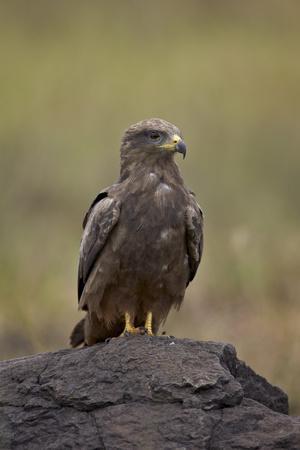 https://imgc.allpostersimages.com/img/posters/black-kite-milvus-migrans-ngorongoro-crater-tanzania-east-africa-africa_u-L-PNFLFL0.jpg?artPerspective=n