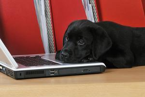 Black Labrador Puppy (8 Weeks Old) on a Laptop