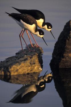 Black-Necked Stilt Male and Female Feeding in Salt Pond