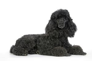 Black Poodle Lying Down