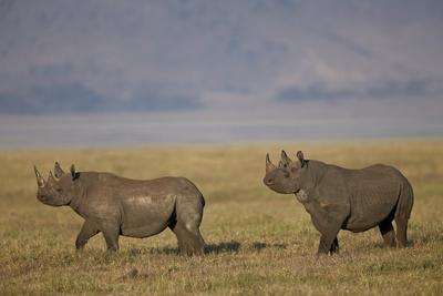 https://imgc.allpostersimages.com/img/posters/black-rhinoceros-hook-lipped-rhinoceros-diceros-bicornis-pair_u-L-PWFBWW0.jpg?p=0