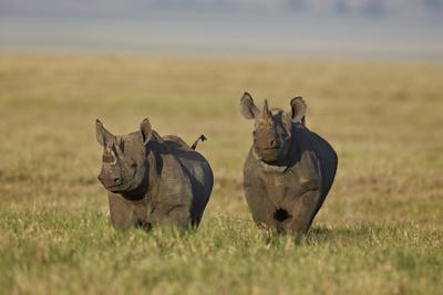 https://imgc.allpostersimages.com/img/posters/black-rhinoceros-hook-lipped-rhinoceros-diceros-bicornis-pair_u-L-PWFJIR0.jpg?artPerspective=n