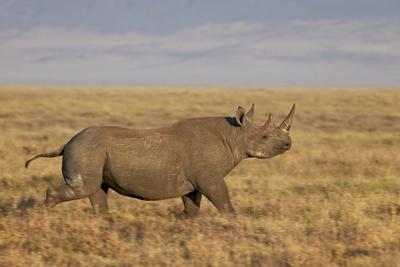 https://imgc.allpostersimages.com/img/posters/black-rhinoceros-hook-lipped-rhinoceros-diceros-bicornis-running_u-L-PWFKXV0.jpg?p=0