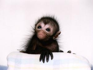 Black Spider Monkey Pedro at Colchester Zoo, 1994