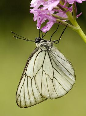 Black-Veined White Butterfly on Pyramidal Orchid