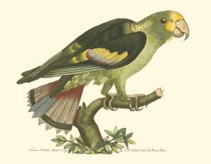 Black-Winged Parakeet